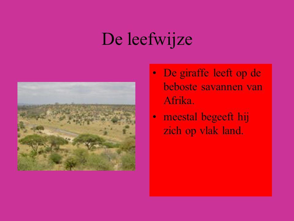 De leefwijze De giraffe leeft op de beboste savannen van Afrika. meestal begeeft hij zich op vlak land.