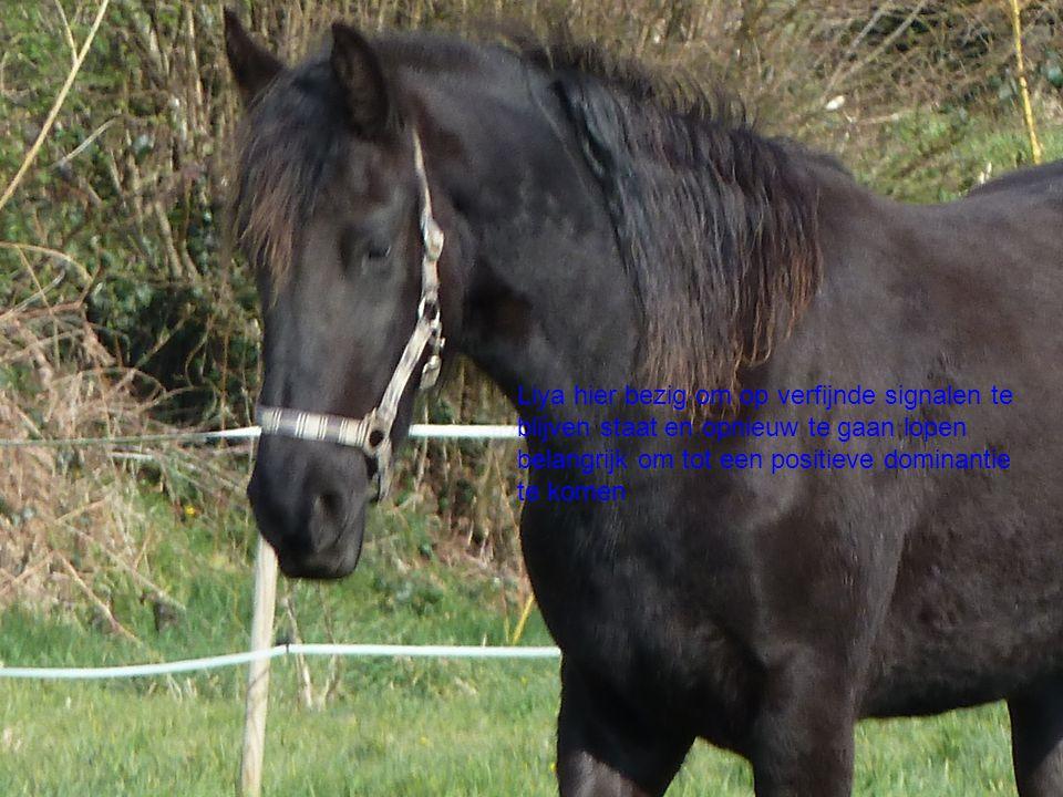 Paarden  Het mysterie van de communicate Liya hier bezig om op verfijnde signalen te blijven staat en opnieuw te gaan lopen belangrijk om tot een positieve dominantie te komen