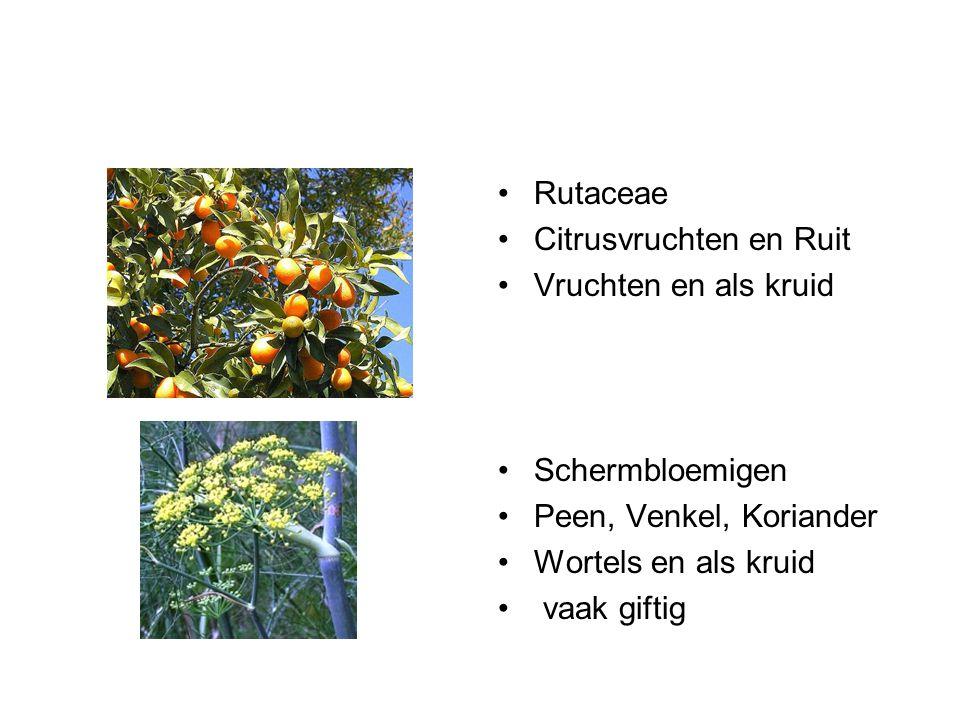 Solanaceae Nachtschadeachtigen Aardappel, tomaat aubergine, paprika Knollen en vruchten vaak giftig Lamiaceae Lipbloemigen Roosmarijn, thijm, salie Kruiden