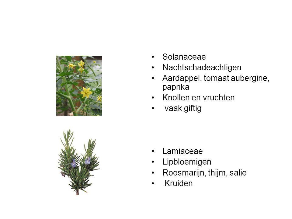 Solanaceae Nachtschadeachtigen Aardappel, tomaat aubergine, paprika Knollen en vruchten vaak giftig Lamiaceae Lipbloemigen Roosmarijn, thijm, salie Kr