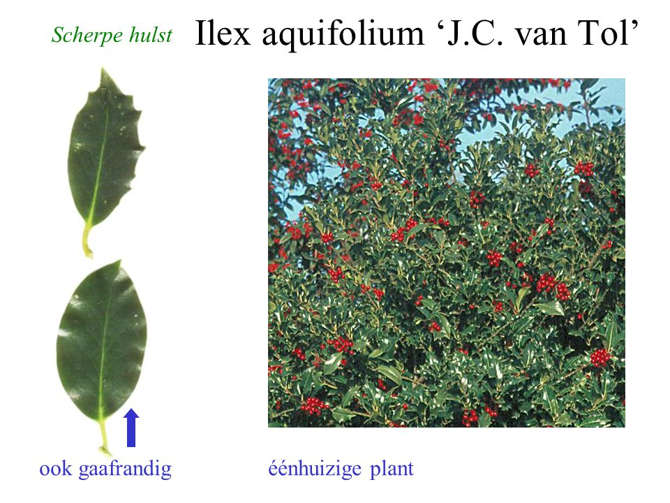 Ilex aquifolium 'J.C. van Tol' Scherpe hulst ook gaafrandig éénhuizige plant