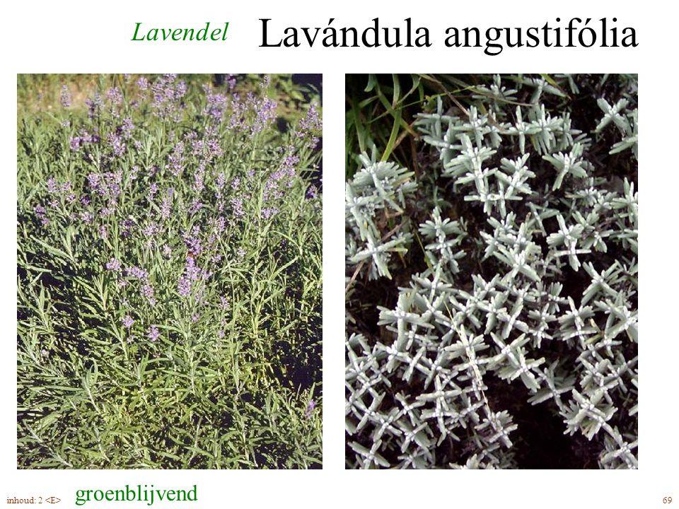 Lavándula angustifólia Lavendel groenblijvend 69inhoud: 2