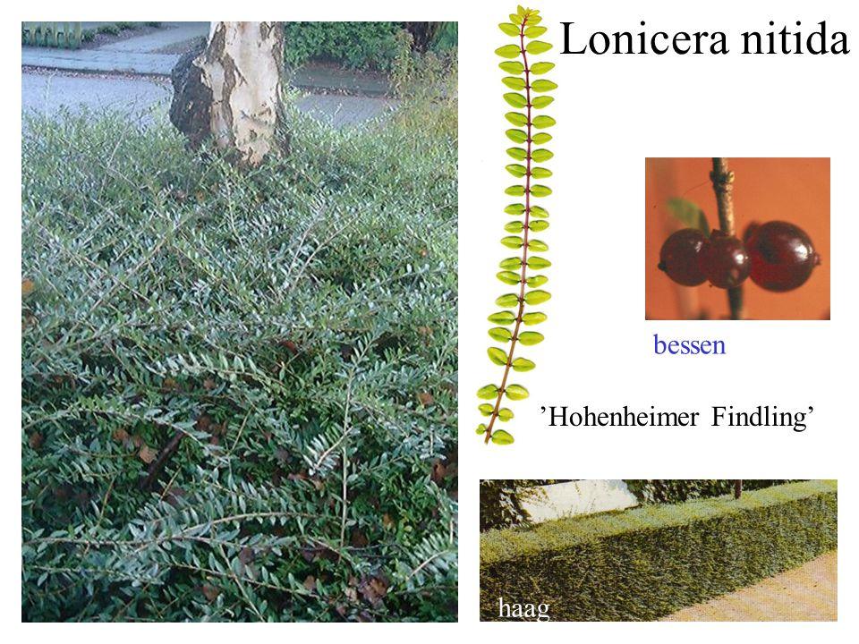 groenblijvend 'Hohenheimer Findling' bessen haag Lonicera nitida