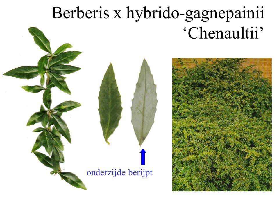 Elaeagnus x ebbingei herfstbloei vruchten in het voorjaar groenblijvend onderzijde zilverwit
