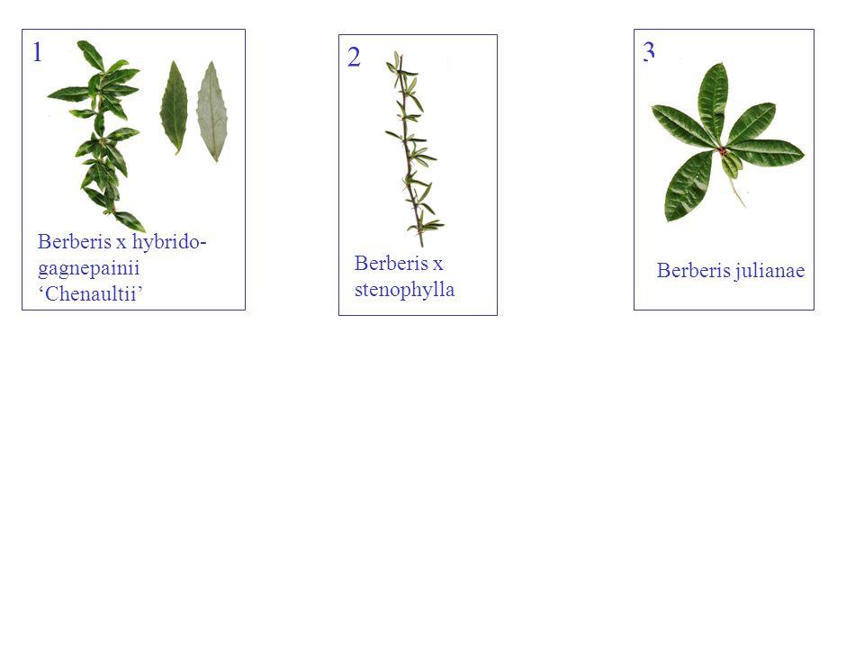 Hyperícum calýcinum Hertshooi 23inhoud: 2