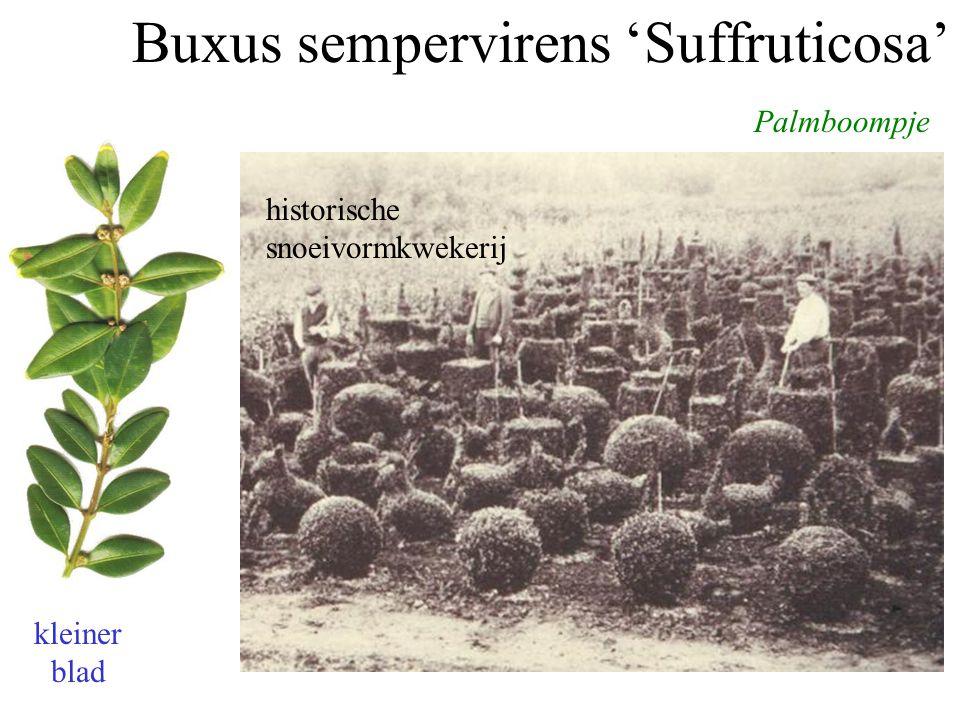 Buxus sempervirens 'Suffruticosa' Palmboompje Paleis Het Loo historische snoeivormkwekerij kleiner blad
