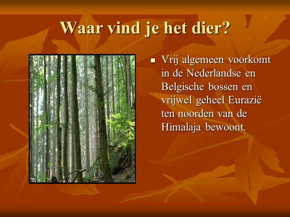 Waar vind je het dier? Vrij algemeen voorkomt in de Nederlandse en Belgische bossen en vrijwel geheel Eurazië ten noorden van de Himalaja bewoont. Vri