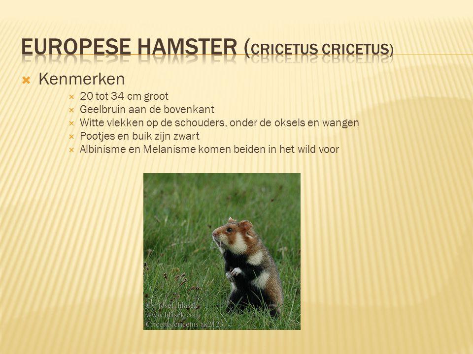  Leefgewoonten  Eet zaden  Leeft in gangenstelsels die rond de 2 meter diep zitten  Hamstert meestal 15 kg aan zaden in het hol.
