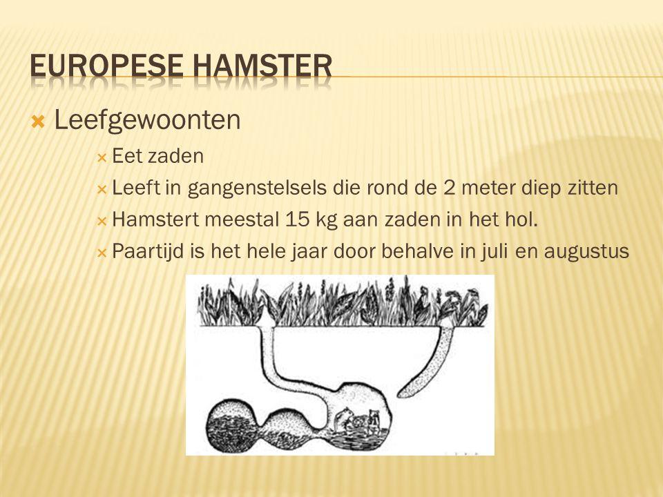  Leefgewoonten  Eet zaden  Leeft in gangenstelsels die rond de 2 meter diep zitten  Hamstert meestal 15 kg aan zaden in het hol.  Paartijd is het