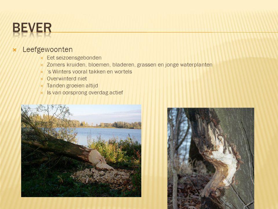  Leefomgeving & Verspreiding  Rivierengebieden met bebossing aan de rand  Paart alleen in februari  Het nest bestaat uit 1 tot 6 jongen  Heeft grote invloed op zijn leefomgeving