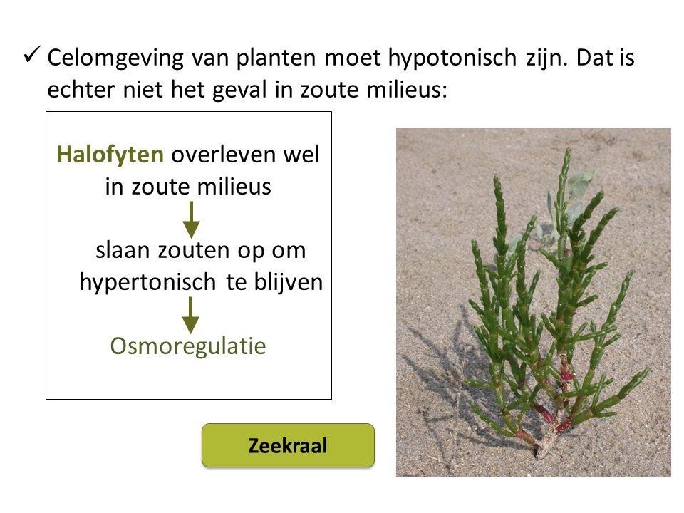Halofyten overleven wel in zoute milieus slaan zouten op om hypertonisch te blijven Osmoregulatie Celomgeving van planten moet hypotonisch zijn.