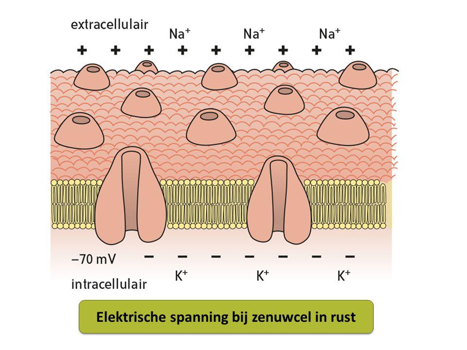 Elektrische spanning bij zenuwcel in rust
