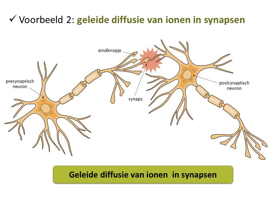 Voorbeeld 2: geleide diffusie van ionen in synapsen Geleide diffusie van ionen in synapsen