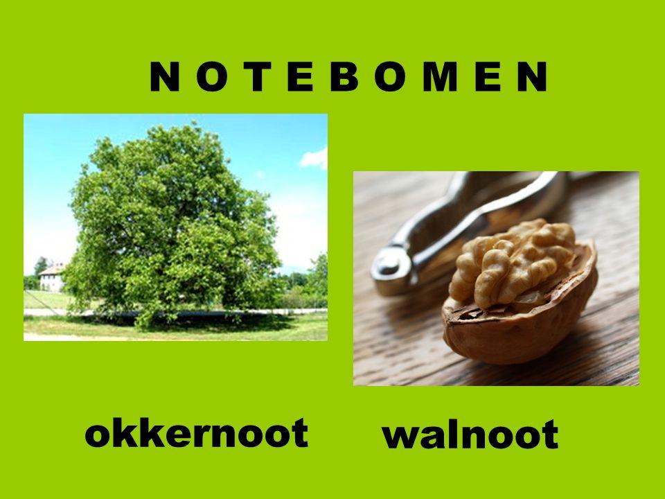 okkernoot N O T E B O M E N walnoot