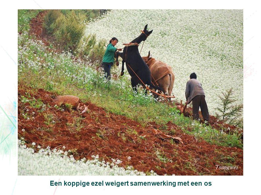 Een koppige ezel weigert samenwerking met een os