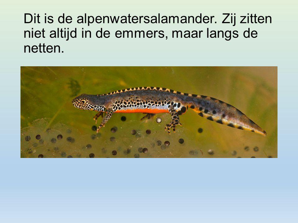 Dit is de alpenwatersalamander. Zij zitten niet altijd in de emmers, maar langs de netten.