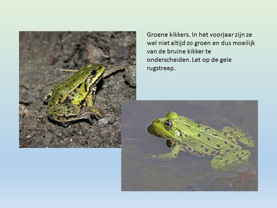 Groene kikkers.