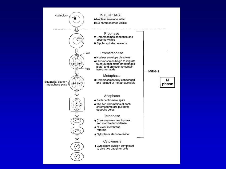 Cytogenetica Vroeger klassificatie van chromosomen op basis van grootte en positie van centromeer, nummering van lang naar kort Invoeren van banding technieken: sluitende identifactie van chromosomen en identificatie van posities op chromosomen Verschillende banding technieken, geven info over structurele organisatie (resolutie 1-10 Mb) Karyotype 46XX of 46XY en eventuele abnormaliteiten Down-syndroom  trisomie