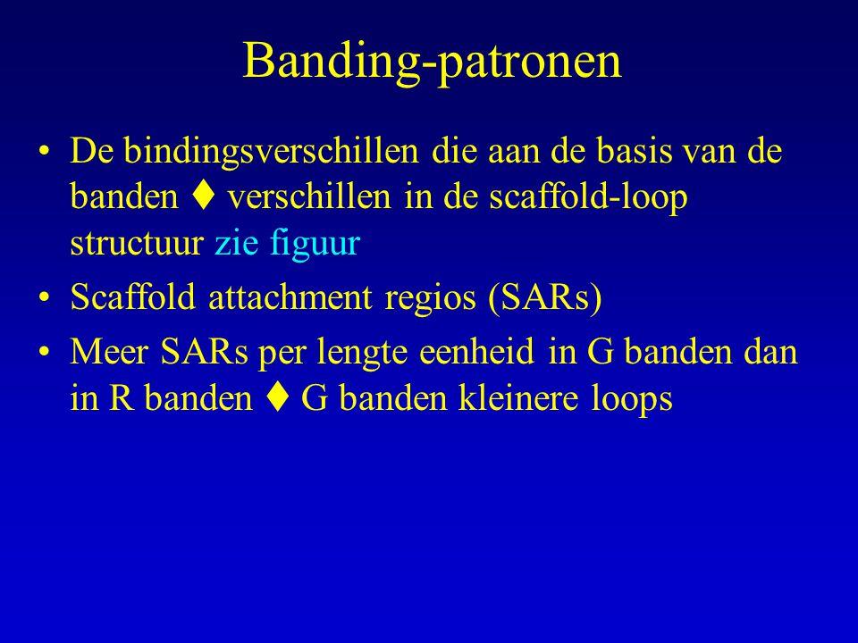 Banding-patronen De bindingsverschillen die aan de basis van de banden  verschillen in de scaffold-loop structuur zie figuur Scaffold attachment regios (SARs) Meer SARs per lengte eenheid in G banden dan in R banden  G banden kleinere loops