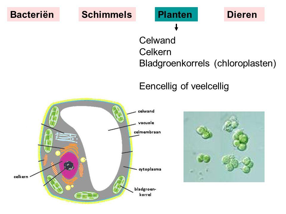 Celwand Celkern Bladgroenkorrels (chloroplasten) Eencellig of veelcellig BacteriënSchimmelsPlantenDieren