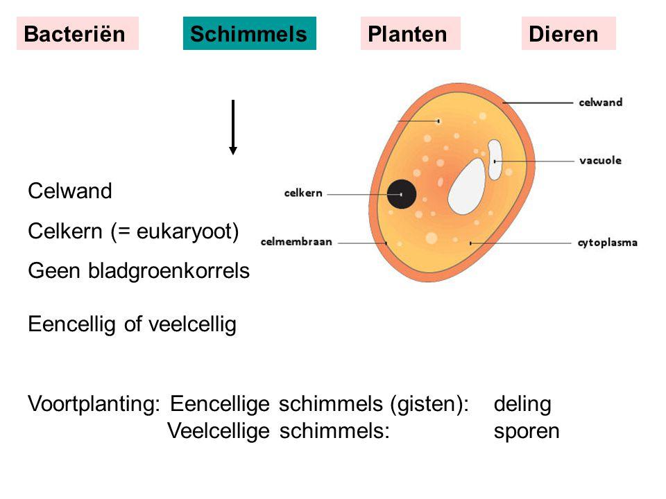 Celwand Celkern (= eukaryoot) Geen bladgroenkorrels Eencellig of veelcellig Voortplanting: Eencellige schimmels (gisten):deling Veelcellige schimmels: