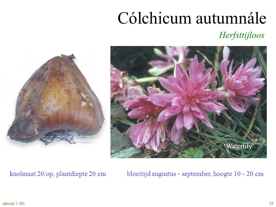 Cólchicum autumnále bloeitijd augustus - september, hoogte 10 - 20 cm Herfsttijloos knolmaat 20/op, plantdiepte 20 cm 'Waterlily' inhoud: 2 19