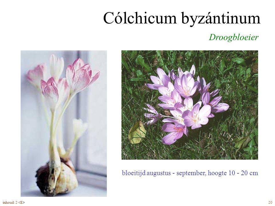 Cólchicum byzántinum bloeitijd augustus - september, hoogte 10 - 20 cm Droogbloeier inhoud: 2 20