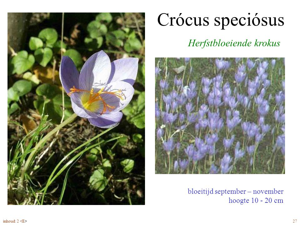 Crócus speciósus bloeitijd september – november hoogte 10 - 20 cm Herfstbloeiende krokus inhoud: 2 27