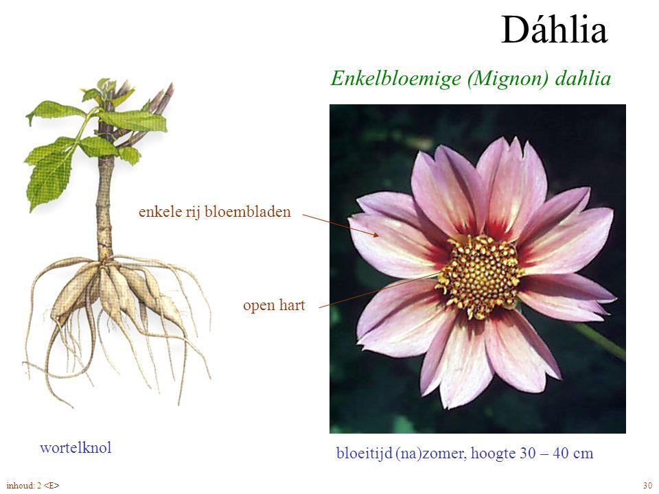 Dáhlia enkelbloemig bloeitijd (na)zomer, hoogte 30 – 40 cm Enkelbloemige (Mignon) dahlia wortelknol enkele rij bloembladen open hart Dáhlia inhoud: 2 30