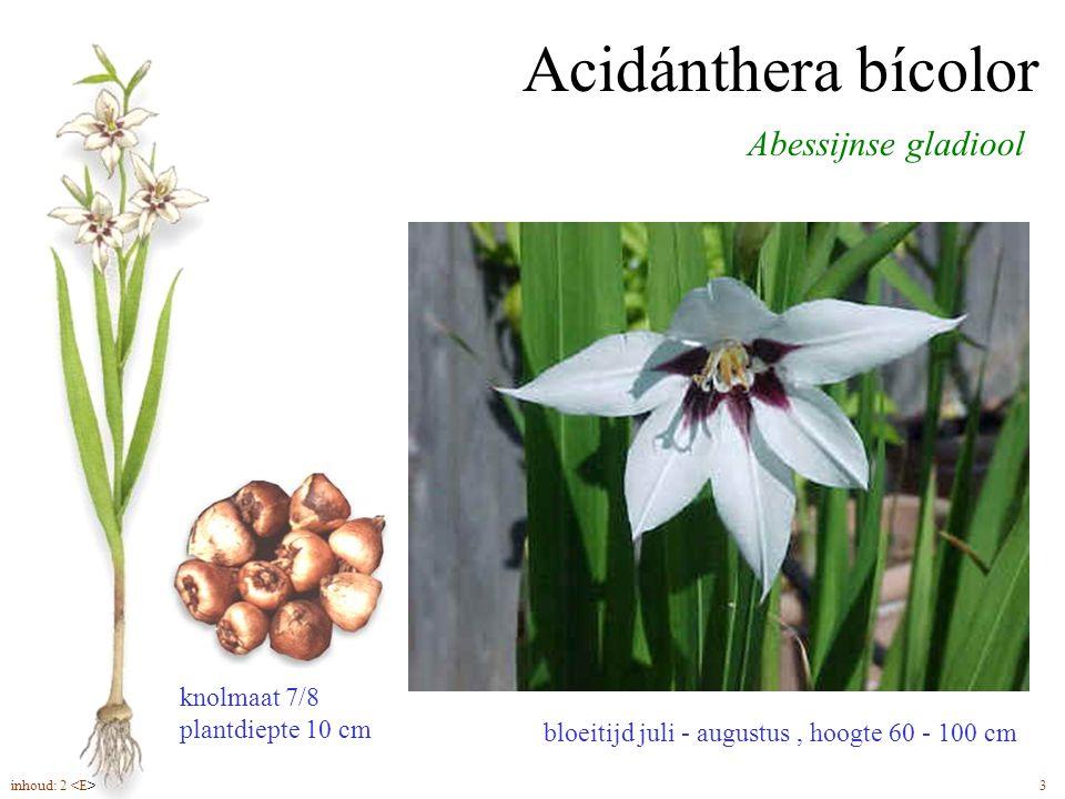 Acidánthera bícolor Abessijnse gladiool bloeitijd juli - augustus, hoogte 60 - 100 cm knolmaat 7/8 plantdiepte 10 cm inhoud: 2 3