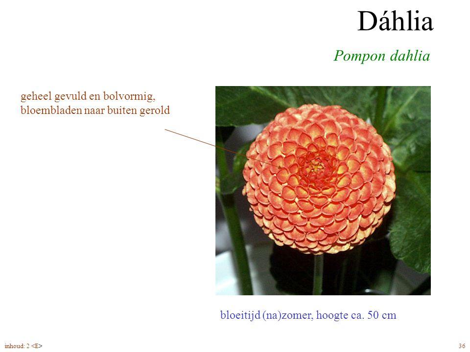 Dáhlia pompon bloeitijd (na)zomer, hoogte ca. 50 cm Pompon dahlia Dáhlia geheel gevuld en bolvormig, bloembladen naar buiten gerold inhoud: 2 36