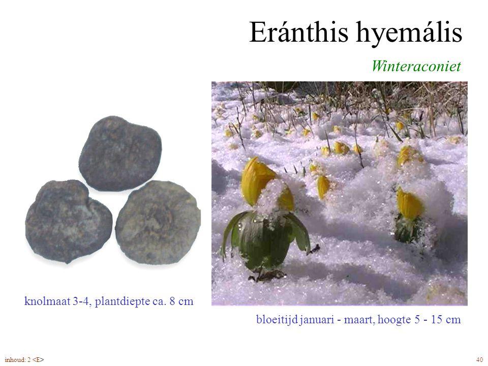 Eránthis hyemális bloeitijd januari - maart, hoogte 5 - 15 cm Winteraconiet knolmaat 3-4, plantdiepte ca. 8 cm inhoud: 2 40