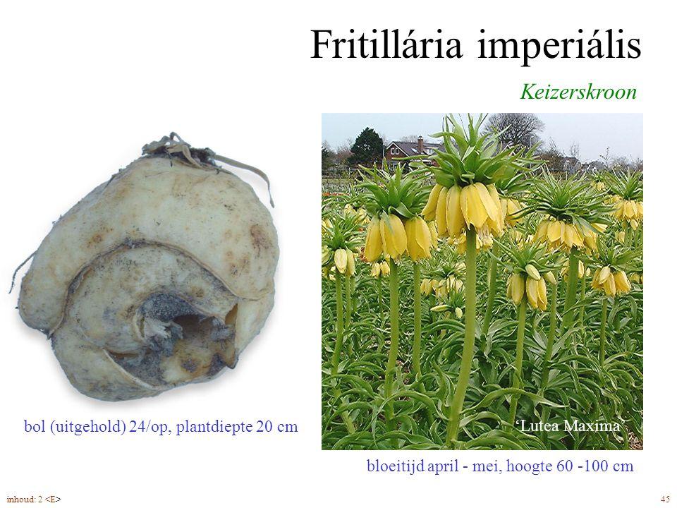 Fritillária imperiális bloeitijd april - mei, hoogte 60 -100 cm Keizerskroon 'Lutea Maxima' bol (uitgehold) 24/op, plantdiepte 20 cm inhoud: 2 45