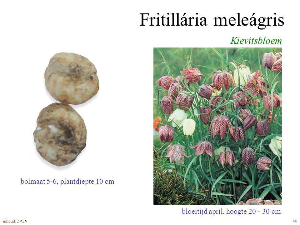 Fritillária meleágris bloeitijd april, hoogte 20 - 30 cm Kievitsbloem bolmaat 5-6, plantdiepte 10 cm inhoud: 2 46