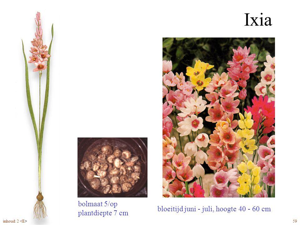 Ixia bloeitijd juni - juli, hoogte 40 - 60 cm bolmaat 5/op plantdiepte 7 cm inhoud: 2 59