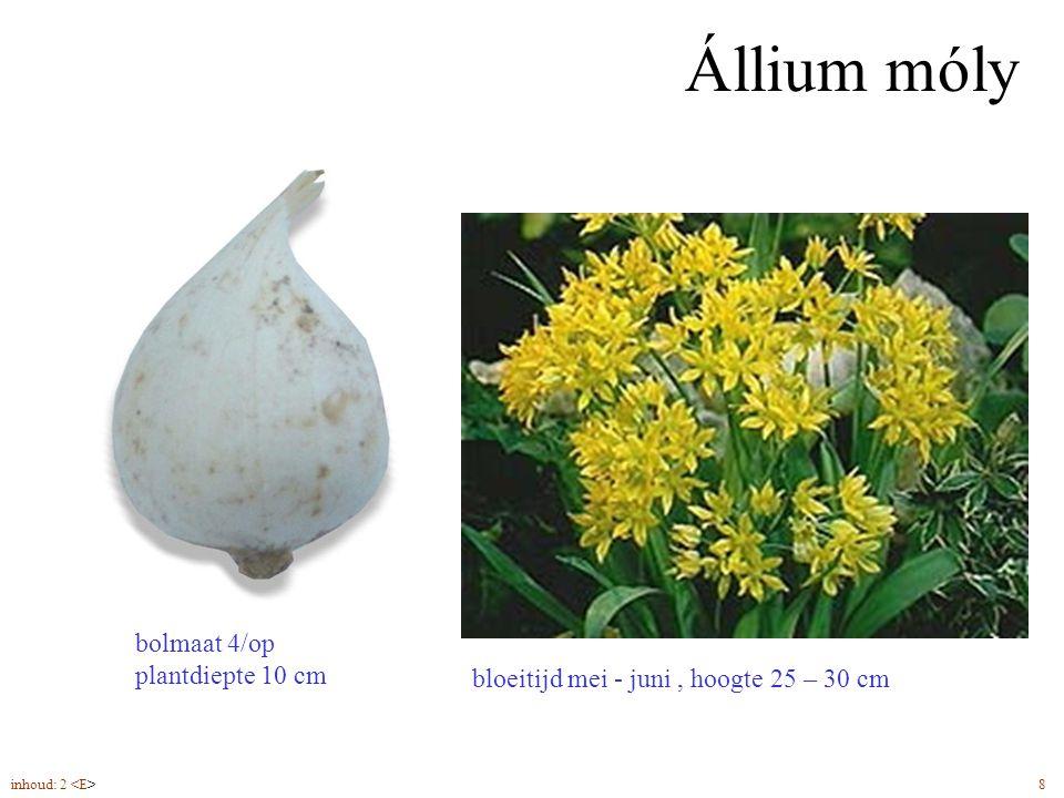 Állium móly bloeitijd mei - juni, hoogte 25 – 30 cm bolmaat 4/op plantdiepte 10 cm inhoud: 2 8