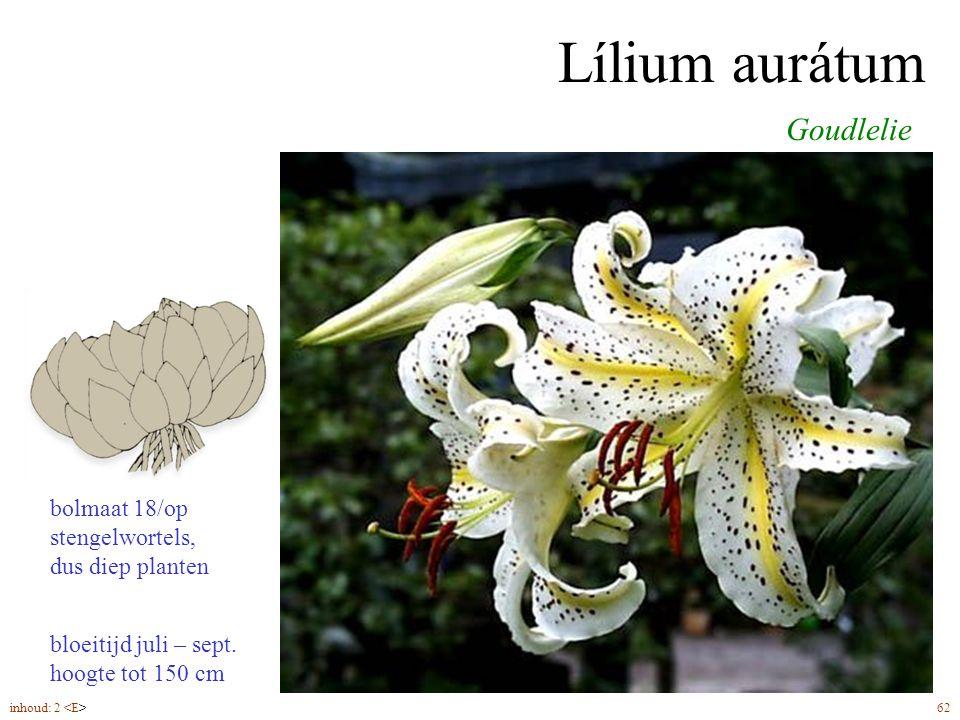 Lílium aurátum bloeitijd juli – sept. hoogte tot 150 cm Goudlelie inhoud: 2 62 bolmaat 18/op stengelwortels, dus diep planten
