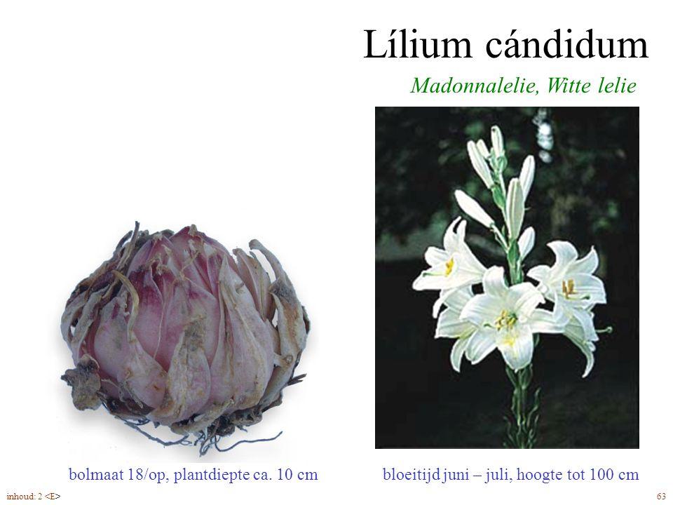 Lílium cándidum bloeitijd juni – juli, hoogte tot 100 cm Madonnalelie, Witte lelie bolmaat 18/op, plantdiepte ca.