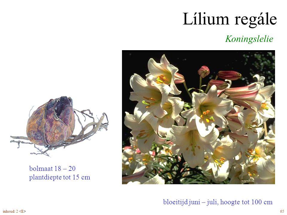 Lílium regále bloeitijd juni – juli, hoogte tot 100 cm Koningslelie bolmaat 18 – 20 plantdiepte tot 15 cm inhoud: 2 65