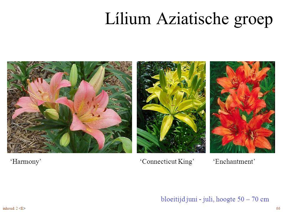 Lílium Aziatische groep bloeitijd juni - juli, hoogte 50 – 70 cm 'Harmony''Connecticut King''Enchantment' inhoud: 2 66