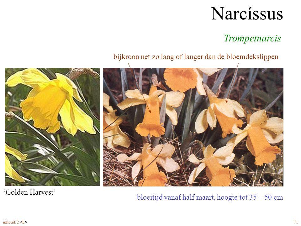 Narcíssus trompet bloeitijd vanaf half maart, hoogte tot 35 – 50 cm Trompetnarcis Narcíssus bijkroon net zo lang of langer dan de bloemdekslippen 'Mou