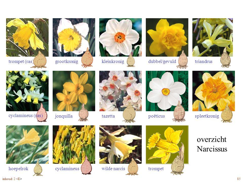 overzicht Narcissus Narcissus overzicht trompet (ras)triandrusdubbel/gevuldkleinkroniggrootkronig spleetkronigpoëticustazettajonquilla hoepelrokcyclam