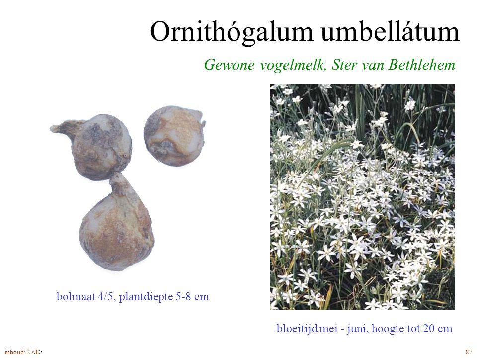 Ornithógalum umbellátum bloeitijd mei - juni, hoogte tot 20 cm Gewone vogelmelk, Ster van Bethlehem bolmaat 4/5, plantdiepte 5-8 cm inhoud: 2 87