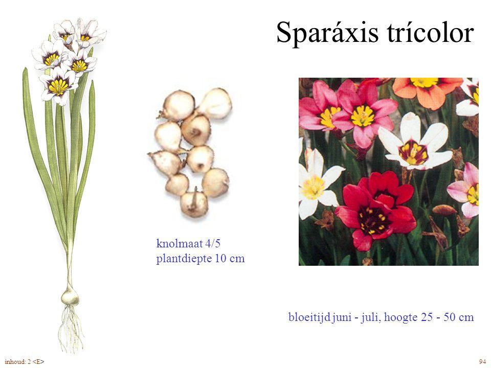 Sparáxis trícolor bloeitijd juni - juli, hoogte 25 - 50 cm knolmaat 4/5 plantdiepte 10 cm inhoud: 2 94