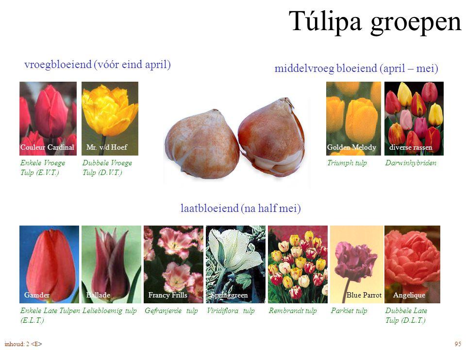 Túlipa groepen vroegbloeiend (vóór eind april) Enkele Vroege Tulp (E.V.T.) Túlipa groepen Couleur Cardinal Dubbele Vroege Tulp (D.V.T.) Mr.