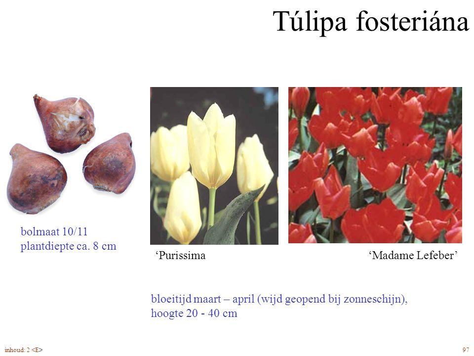 Túlipa fosteriána bloeitijd maart – april (wijd geopend bij zonneschijn), hoogte 20 - 40 cm 'Purissima'Madame Lefeber' bolmaat 10/11 plantdiepte ca. 8