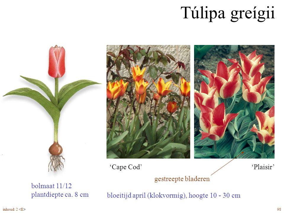Túlipa greígii bloeitijd april (klokvormig), hoogte 10 - 30 cm 'Plaisir''Cape Cod' bolmaat 11/12 plantdiepte ca. 8 cm gestreepte bladeren inhoud: 2 98