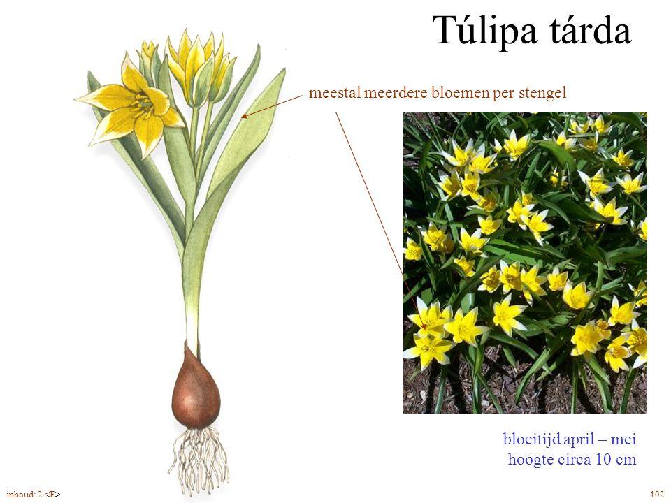 Túlipa tárda bloeitijd april – mei hoogte circa 10 cm bolmaat 6/7 plantdiepte ca. 6 cm meestal meerdere bloemen per stengel inhoud: 2 102