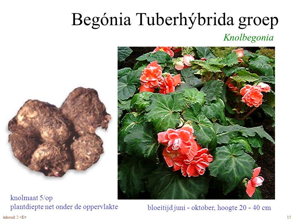 Begónia Tuberhýbrida groep bloeitijd juni - oktober, hoogte 20 - 40 cm Knolbegonia knolmaat 5/op plantdiepte net onder de oppervlakte inhoud: 2 15