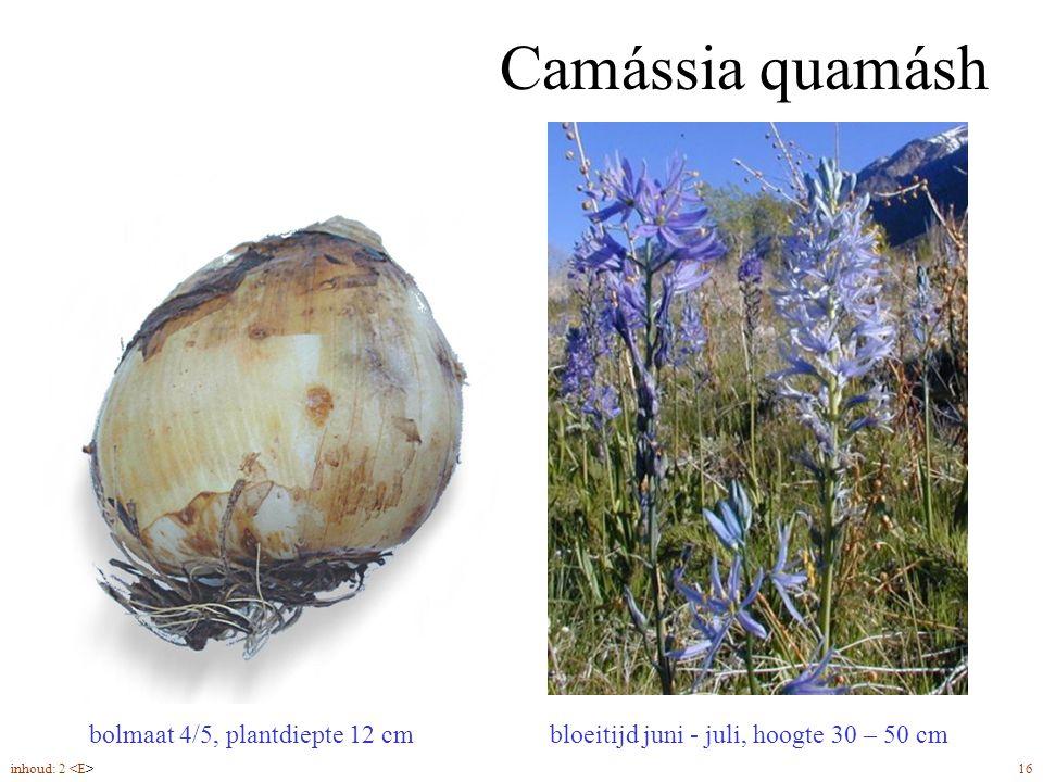 Camássia quamásh bloeitijd juni - juli, hoogte 30 – 50 cm bolmaat 4/5, plantdiepte 12 cm inhoud: 2 16
